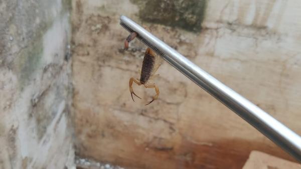 Escorpião capturado pela equipe do Departamento de Controle de Vetores (Foto: Da Assessoria).